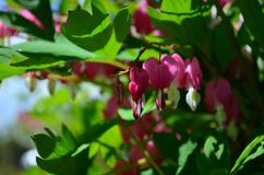 Branch with beautiful pink flowers Dicentra spectabilis royalty free stock photography