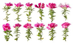 A branch of beautiful pink and purple spring flowers. A branch of beautiful pink and purple spring flowers Stock Photo