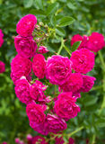 Branch of beautiful pink roses as heart Royalty Free Stock Images