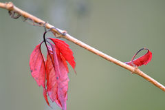 Branch with beautiful red leaves Royalty Free Stock Image