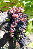Branch beautiful ripe blue grapes growing in vineyard Stock Photography