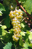 Branch beautiful ripe yellow grapes growing in vineyard Royalty Free Stock Photography
