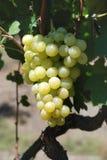 Branch beautiful ripe yellow grapes growing in vineyard Royalty Free Stock Image