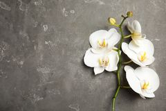Branch with beautiful tropical orchid flowers on grey background, top view. Space for text stock photos