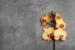 Branch with beautiful tropical orchid flowers on grey background, top view royalty free stock photography