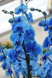 Branch with beautiful tropical tender blue orchid flowers stock photo