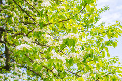 Branch of beautiful white flower . Stock Photography