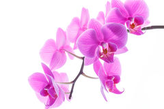 Branch beautiful white orchid Stock Photos