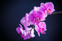 Branch beautiful white orchid Royalty Free Stock Photos