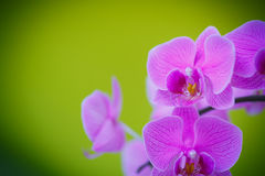 Branch beautiful white orchid Royalty Free Stock Image