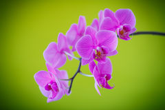 Branch beautiful white orchid Royalty Free Stock Photography