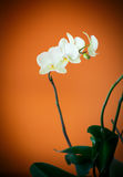 Branch beautiful white orchid Royalty Free Stock Images