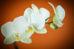 Branch beautiful white orchid Stock Photography