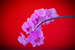 Branch beautiful white orchid Stock Image