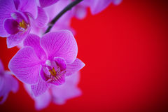 Branch beautiful white orchid Royalty Free Stock Photo