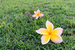 Branch of Beautiful yellow White frangipani flowers, plumeria flowers Royalty Free Stock Images