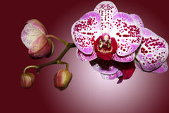 Branch of a beautifull orchid Stock Photography