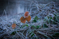 Branch of beech between dry twigs are covered with hoarfrost Stock Images