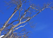 Branch Beech Tree Blue Sky. Branch of beech tree against winter, clear and blue sky royalty free stock photos