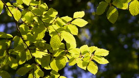 Branch of beech tree with leaves. Branch of a beech tree with leaves in spring with sunshine and wind stock video