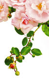 Branch beige pink roses. Royalty Free Stock Photo