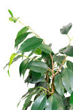 Branch of benjamin tree Royalty Free Stock Image