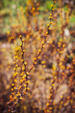 Branch of berberis Royalty Free Stock Photography