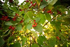 Branch with berries Crataegus. Close Stock Images
