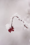 Branch with berries full of hoarfrost Stock Image