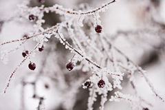 Branch with berries full of hoarfrost Stock Images