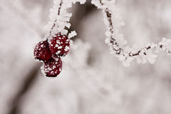 Branch with berries full of hoarfrost Stock Photo