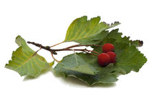 Branch with berries of hawthorn Stock Photography