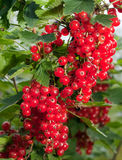Branch with berries of red currant.Close up in a sunny day Stock Image