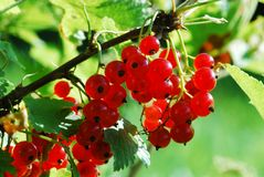 Branch with berries of red currant Royalty Free Stock Photo