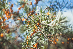 Branch with berries of sea buck-thorn and green leaves on a back Stock Photos
