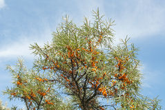 Branch with berries of sea buckthorn Royalty Free Stock Images