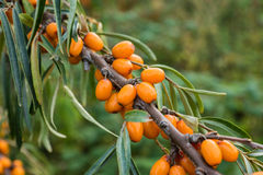 Branch with berries of sea buckthorn and green leaves Stock Images