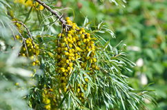 Branch with berries of sea buckthorn. And green leaves Royalty Free Stock Photography