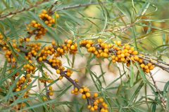 Branch with berries of sea buckthorn Royalty Free Stock Photos