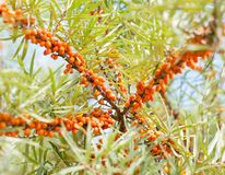 Branch with berries of sea buckthorn Stock Photos