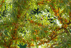 Branch with berries of sea buckthorn and green leaves Royalty Free Stock Photo