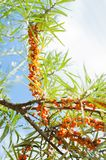 Branch with berries of sea buckthorn Stock Image