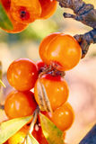 Branch with berries of sea buckthorn and green leaves on a background of grass and sky.  Royalty Free Stock Image