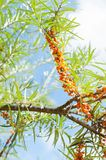 Branch with berries of sea buckthorn and leaves Royalty Free Stock Images