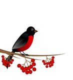 Branch with berry wild ash and bird bullfinch Stock Image