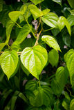 Branch of betel leaf. Branch of green betel leaf Stock Photos