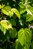 Branch of betel leaf. Branch of green betel leaf Stock Photo