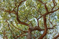 Branch of Big Samanea saman tree Stock Photos