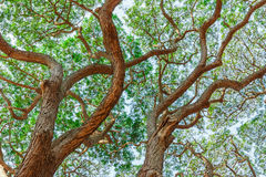 Branch of  Big Samanea saman tree Stock Photography