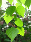Branch of a birch. Branch of a spring birch tree with green foliage Stock Image